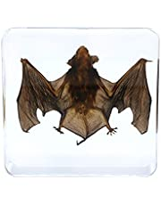 Real Animal Bat Specimen Taxidermy for Science Classroom