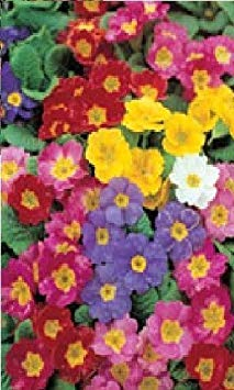Potseed Pictorial Pack  Tubs and Baskets  Polyanthus Pacific Giants  15 Seeds