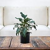 Xanadu Phiodendron (Winterbourn)