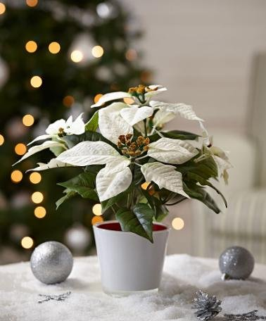Stella Di Natale Bianca.Stella Di Natale Bianca Pianta Artificiale Bianca Amazon It