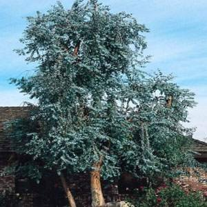 - Outsidepride Eucalyptus Silver Dollar Tree - 100 Seeds