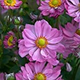 Anemone-Curtain-Call-Pink - QT Pot (Perennial)
