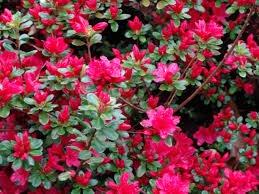 Hybrid Azalea - (1 Gallon) Hino-crimson, (Hybrid) AZALEA, COLD HARDY, Profuse, Brilliant, Scarlet Red Flowers, Very Early Bloomer, Evergreen, Compact and Great for Urban Areas.