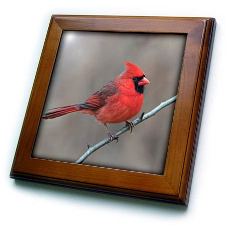 3dRose Danita Delimont - Birds - Male Northern Cardinal in winter, Cardinals cardinals, Kentucky - 8x8 Framed Tile (ft_259352_1) (Bird Tile)