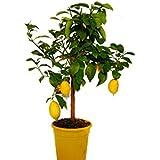 Pianta di limone 4 stagioni albero di limone lunario in for Albero limoni in vaso