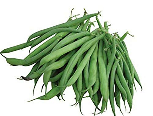 (50 Seeds Burpee's Stringless Green Pod Garden Bush Bean Seeds)