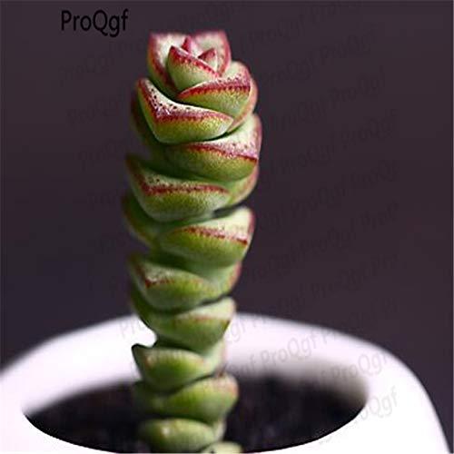 3pcs a Set Kalanchoe Chocolate Soldier Plant Crassula Perforata kougaensis - (Color: 3 Crassula Perforata) by Kasuki (Image #3)