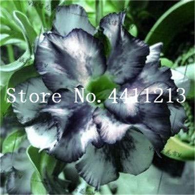 Seed - NOT Plant - Best Quality - Bonsai - Hot Sale ! Genuine Desert Rose Bonsai 1 pcs Adenium Obesum Flower Bonsai Plant Air Purification Home Garden Potted Flower - by SeedWorld - 1 PCs: Garden & Outdoor