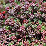 "Lumos80 Sedum Coral Carpet Album Tiny Easy Drought Tolerant 2"" Pot = 1 Live Potted Plant"