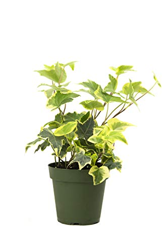 Burpee's Hedera (Ivy Variegated Gold | Indirect High Light, Easy Care House Plant | 4'' Pot by Burpee