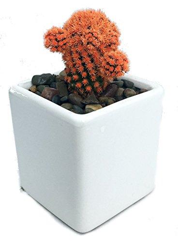 Orange Living Desert Jewel Cactus