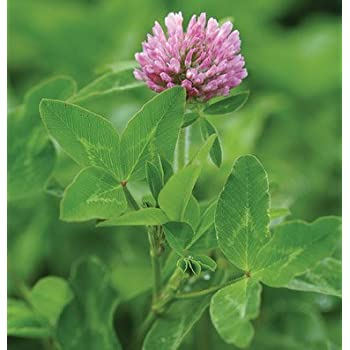 David's Garden Seeds Cover Crop Mammoth Red Clover D98032 Organic (Purple) One Ounce Package