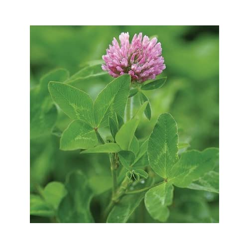 David's Garden Seeds Cover Crop Mammoth Red Clover Organic D980TWQ (Purple) 1 Pound Package for cheap