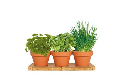 TotalGreen Holland | Herb Trio Grow Kit | Grow Basil Plant, Parsley and Chives this Summer | Grow a Herb Garden From Seed in Terra Cotta Pots | Non-GMO Live Plants