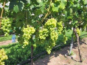 Weinrebe 'Arkadia' - Vitis 'Arkadia' - Leckere Weintraube für den Garten von Native Plants