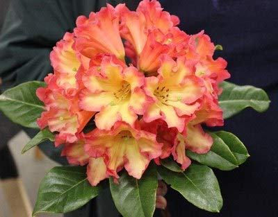 """(Rhododendron Killer Diller- Yellow Bloom with Strong Red Rims- Grows Five Feet Tall - 8"""" to 12"""" Wide Plant – Typically Two Gallon)"""