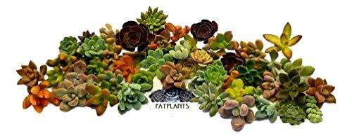 Fat Plants San Diego Miniature Rosette Succulent Cuttings (50) by Fat Plants San Diego (Image #1)