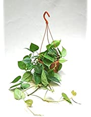Philodendron seeds, green apple, vine leaf, indoor plants, in addition to suck air purification formaldehyde, 100pcs