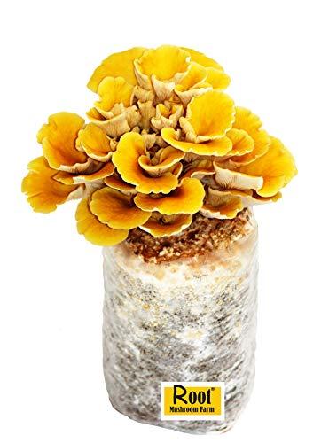 Root Mushroom Farm-Golden Oyster Mushroom -Summer Oyster-All in one Gourmet Mushroom Growing kit-New Launched