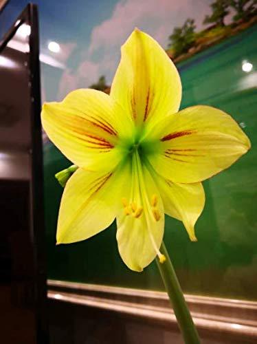 Yellow Amaryllis Bulbs Hippeastrum Bulbs (4 Bulbs) Roots Stems Flowers Plants Garden Home Balcony Desktop Dinner Table Bonsai Potted Decor ()