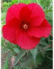 Shrub Plants & Seeds | Amazon com