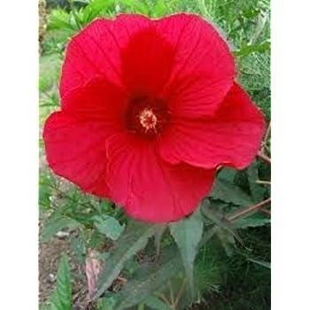 Amazoncom 10 Fireball Hardy Hibiscus Seeds Garden Outdoor
