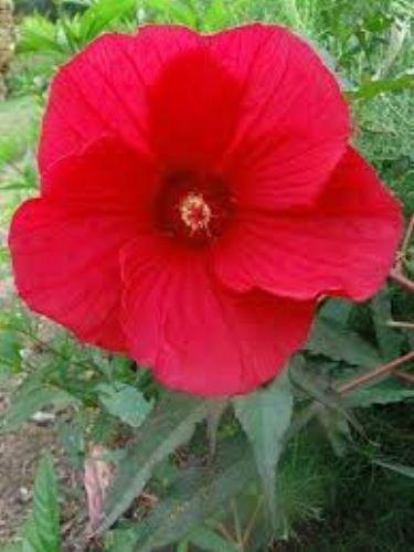 10 Fireball Hardy Hibiscus Seeds