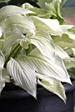White Feather Hosta - UNBELIEVABLE/RARE/NEW - Bareroot
