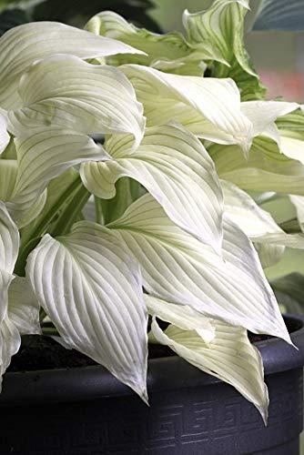 White Feather Hosta  UNBELIEVABLE/RARE/NEW  Bareroot
