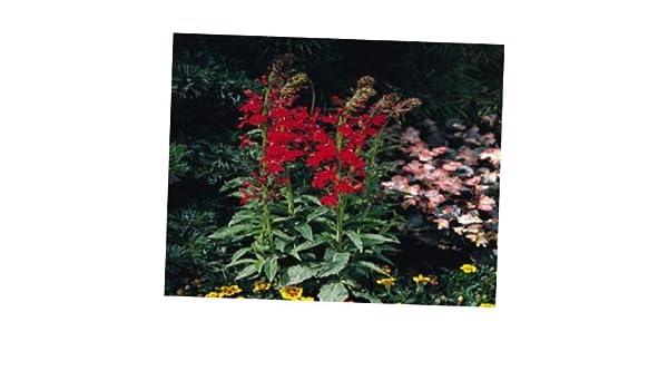 Amazoncom Lobelia 50 Seeds Lobelia Compliment Scarlet Garden