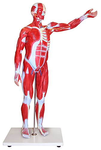 Parco Scientific PB00097-DC Human Muscular Figure Model, 85 cm Length