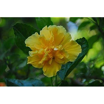 AchmadAnam - Live Plant - Crown of Bohemia Hibiscus - 1 Plants - 1 Feet Tall - Ship in 1 Gal Pot. E9 : Garden & Outdoor