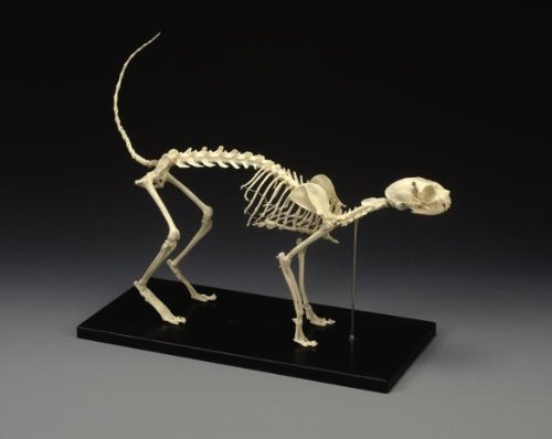 Cat Skeleton - Feline Skeleton Model, Standard Size Cat