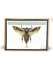 I-DO-CARE Water Bug - Real Water Bug in Box Wooden Picture Frame - Framed