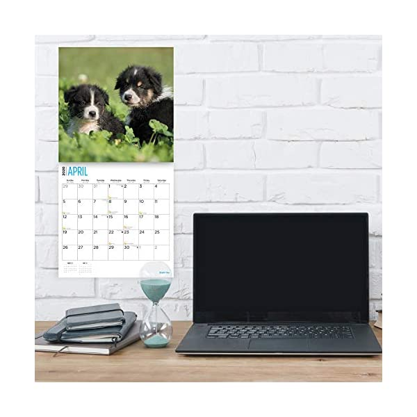2020 Australian Shepherds Wall Calendar by Bright Day, 16 Month 12 x 12 Inch, Cute Dogs Puppy Animals Aussies Canine 3