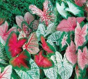 ((5) Spectacular Exotic & Fancy Mix Caladium Bulbs, Root, Plant starts)