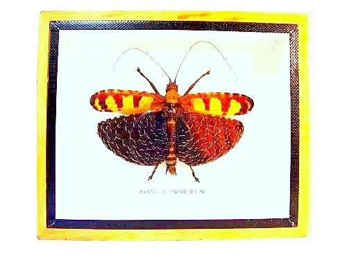 Rare Golden Grasshoper,Taxidermy Insect Specimen,A1 Quality Entomology Gift