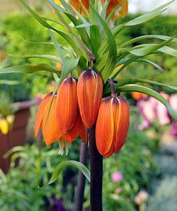 Aurora Crown Imperial Fritillaria - 1 (Crown Imperial Bulbs)