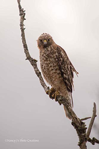 Red-tailed Hawk Photo Unframed Bird Photography Nature Art Print Brown Grey Natural Wall Decor for Home or Office Birder Gift 5x7 8x10 8x12 11x14 12x18 16x20 16x24 - Bird Photography Nature