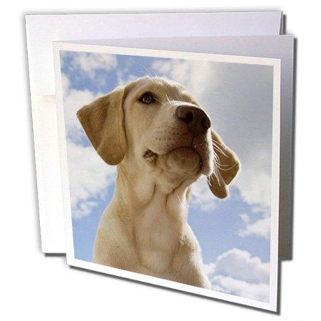 (3dRose Labrador Retriever puppy dog - NA02 RBR0018 - Rick A. Brown - Greeting Cards, 6 x 6 inches, set of 12 (gc_84181_2))