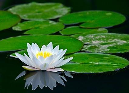 Creative Farmer White Lotus Flower Seeds Kamal Flower Seeds 15