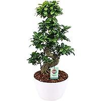 Bonsáis de Botanicly – Ficus bonsai en maceta blanca como un conjunto – Altura: 60 cm – Ficus Gin Seng