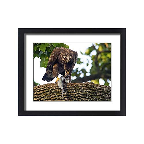 Media Storehouse Framed 20x16 Print of Juvenile American Bald Eagle with Fish (15379431)