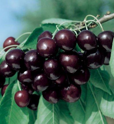 Sweet Black Tartarian Cherry Tree Seeds - 20 Cherry Seeds - Qualityseeds4less Exclusive ()