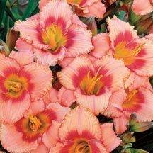 10 Bareroot Hemerocallis Strawberry Candy Daylily by Daylily Nursery