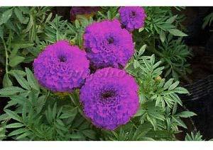 Radha Krishna Agriculture Purple Blue Marigold Seeds Exotic Flower Seeds Buy Online In Haiti At Haiti Desertcart Com Productid 170911729