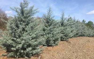 Drought-Tolerant Evergreen