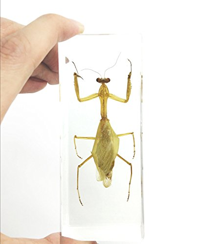 Praying Mantis(Mantis)(rearhorse) Paperweight Specimen Science Education Specimens(4.4×1.6×1.1″)