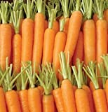 Carrot Napoli D209A (Orange) 200 Organic Seeds by David's Garden Seeds