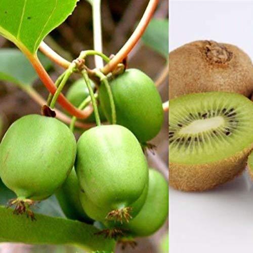 Actinidia Jenny Self Fertile Kiwifruit Buy Online In Pakistan At Desertcart
